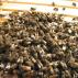 Spojování včelstev v zimě